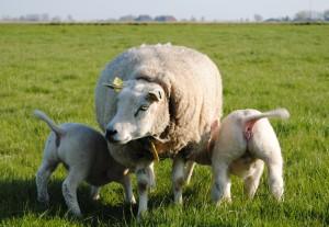 Adoptieooi met eigen (Rechts) lam en pleeglam.