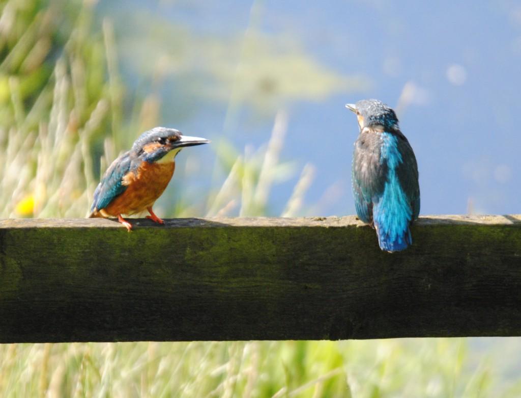 IJsvogeltjes in Reduzum