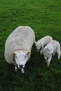 Moederschaap met adotielam - kopie